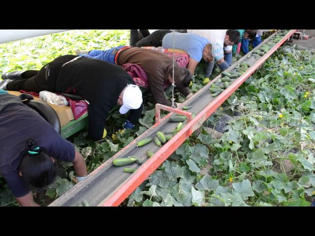 Vizita de studiu in Ungaria si Germania privind producerea castravetilor