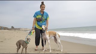 Download Taking Our Greyhound To The Beach For The First Time Mp3 and Videos