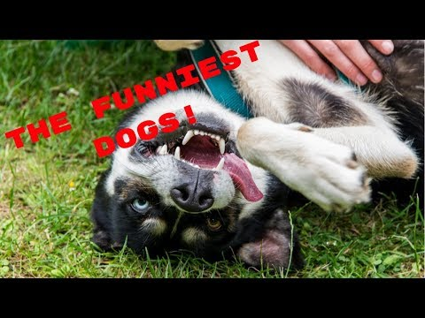 The Funniest Dogs 😂Try Not To Laugh Challenge - Funny Pets