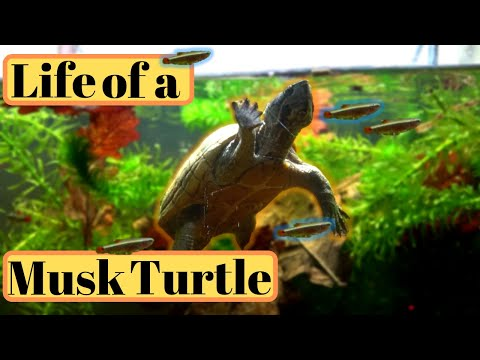 Musk Turtle Care Guide/Setup PART 1. Stinkpot (Common Musk Turtle) Keeping And Tank Setup