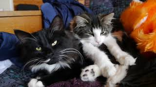 Норвежские лесные котята Ильва и Зоя, fashionpeak.ru