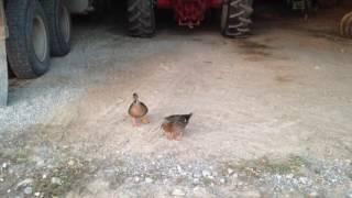 Duck Calling