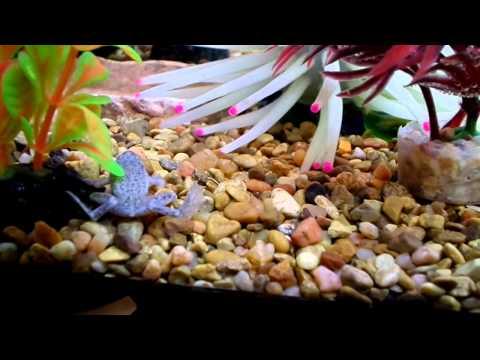 African Dwarf Frog Tank Update