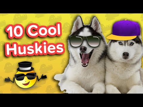 Ten Cool Huskies // Funny Animal Compilation