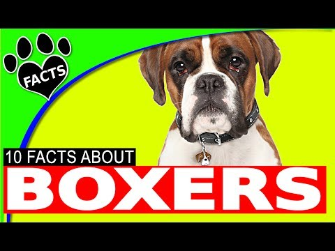 Boxer Dog Facts Dogs 101