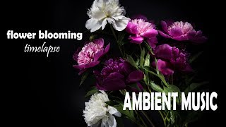 Relaxing Ambient Music & Beautiful Flower Blooming Timelapse - Chill out & Meditate Sounds