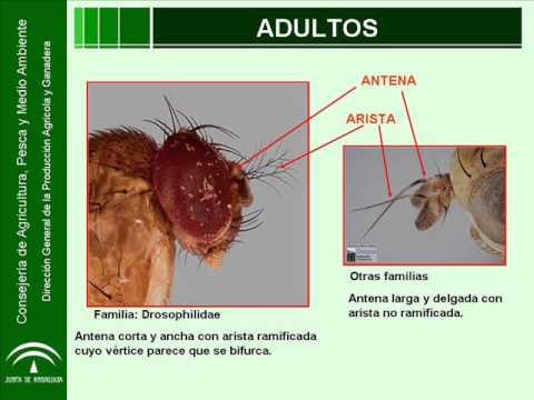 Drosophila suzukii en varios cultivos