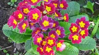 видео Выращивание цветов из семян