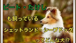 ペットで犬を飼おうと迷っている方へ〜シェットランド・シープドッグ〜 ...