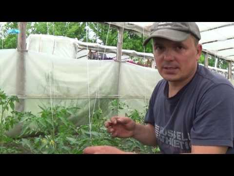 Как пасынковать помидоры в теплице пошагово видео