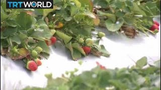 Australia Strawberry Sabotage: Jail terms increase after contamination scare