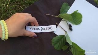 Drzewa liściaste cz. 1(kasztanowiec, kasztan, dąb, klon, lipa, olcha, wierzba)
