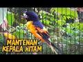 Burung Mantean Kepala Hitam Gacor  Mp3 - Mp4 Download