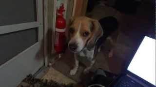 Pocket Beagle Website Buying Video Review Miniature Beagles Temperment W/ Breeder