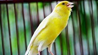Suara Burung Kenari Juara Nasional Durasi Panjang Untuk Masteran