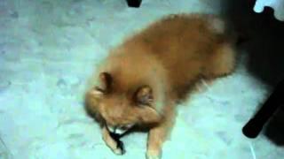 Muffin Cute Pomeranian