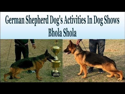 German Shepherd Dog's Activities In Dog Shows-Bhola Shola