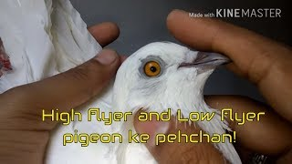How to identify high flying and low flyer pigeons ki pehchan - Tippler pigeons breeds