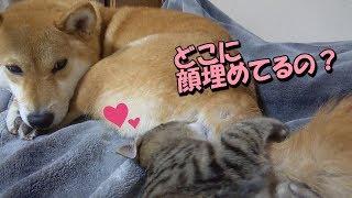 子猫のリリは柴犬リコに甘える事が大好き♡ 尻尾にじゃれてとっても嬉し...