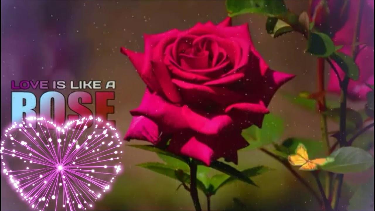 Whatsapp Status Video Rose Stetus Video Good Night Good Morning Stetus Video Youtube