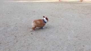 【2013 12 05】 近場のドッグランにて・・・若いビーグル犬のスタミナには...