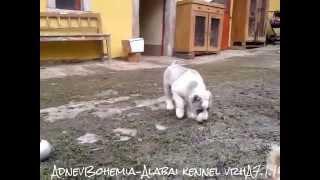 6 weeks Central Asian Shepherd Dog/Středoasijský pastevecký pes- Alabai (SAO)