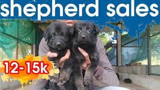 German shepherd  puppy sale | …