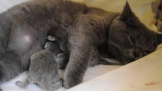 Британская кошка кормит своих новорожденных котят. British cat feeding her newborn kittens