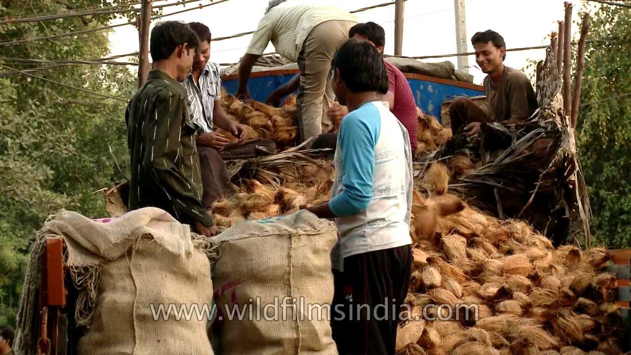 Truckload of coconuts for sale at Azadpur mandi