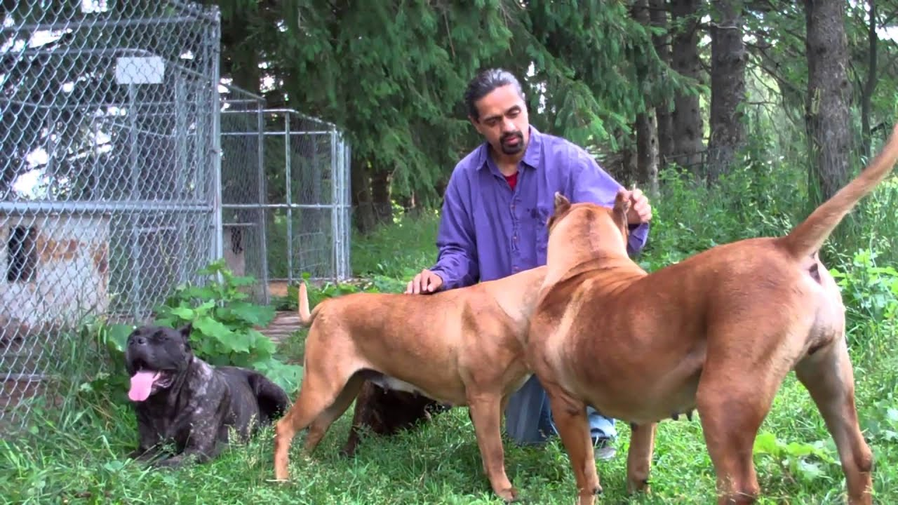 Presa canarios and cane corso youtube geenschuldenfo Images