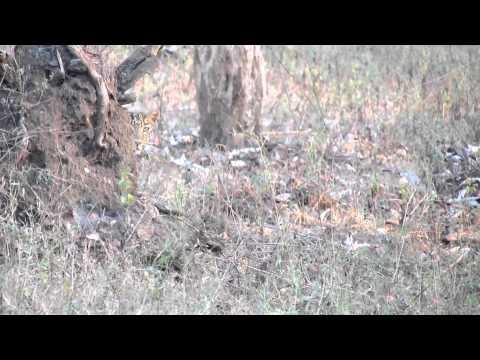 Leopard crossing at Nagarhole National Park