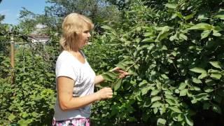 видео Какие деревья посадить на участке?