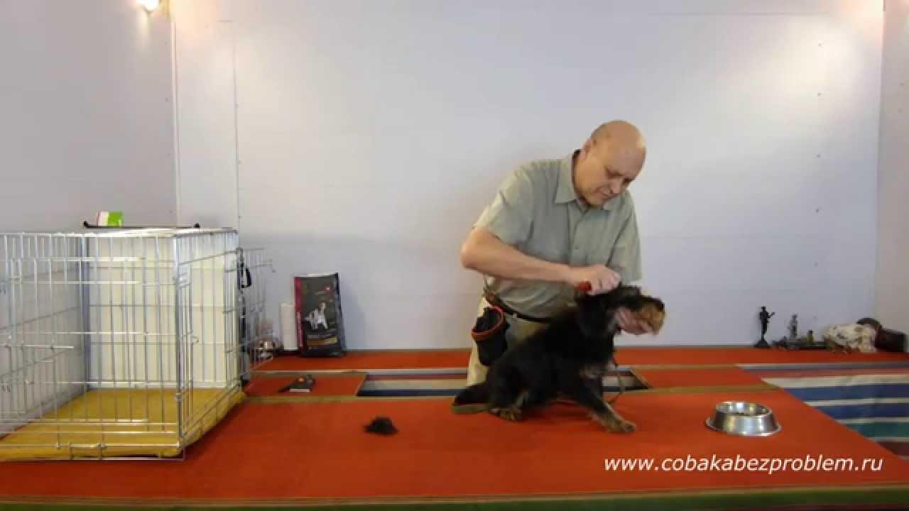 2 Как приучить собаку к триммингу шерсти. Голова, шея, спина
