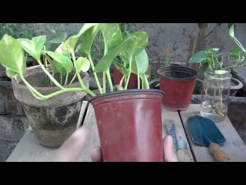 Money Plant Maintenance | How to Make Your Money Grow Fast | Summer Care (Urdu/hindi)