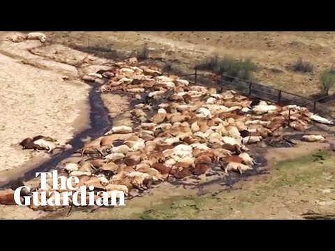 Aerial footage of dead cows after Queensland flood