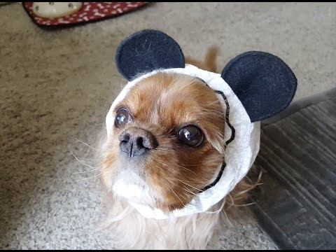 Ruby Cavalier King Charles Spaniel - 🐼 Dinner time with Panda Snood 🐼