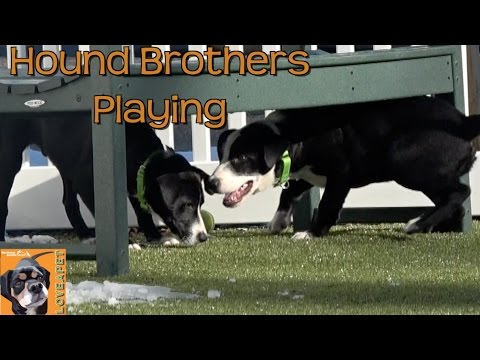 Hound Brothers Playing at Northeast Animal Shelter: Puppies Playing