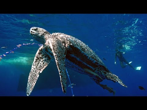 Pacific Leatherback Sea Turtles