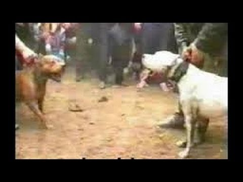Dogo Argentino VS Pitbull - YouTube