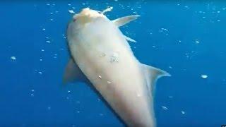 Oltadaki Akya balığını takip eden diğer Akya AVmarketicom