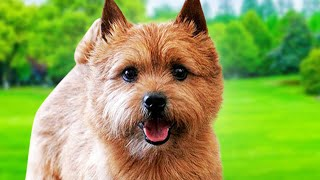 Norwich Terrier Dogs 101  Ultimate Owner Guide (Top Pros and Cons) of Owning the Norwich Terriers