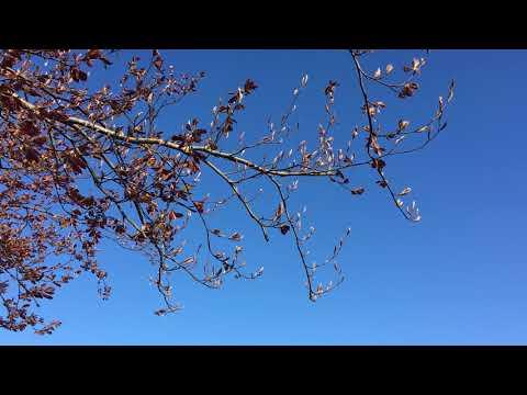 Copper Beech (Fagus sylvatica f. purpurea) - leaves & branches - May 2018