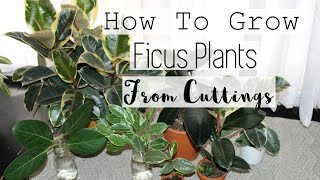 Propagate Any Ficus Tree Plant! | How to Propagate Rubber Tree Ficus Houseplants