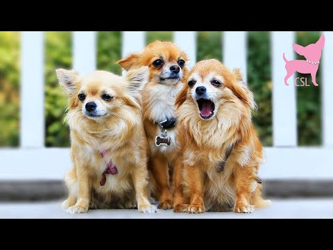 Cute Chihuahua Dog Race (and Fun Party in a Mansion!)
