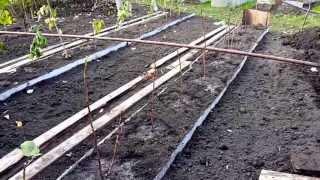 Грядки для малины. www.globusbm.com(Расстояние между осями грядок(кустами малины) 2 метра, ширина грядок 60 см и расстояние в грядке между кустам..., 2013-10-08T19:31:24.000Z)