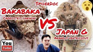 Japan G VS Baka Baka ft. KADAGIT (Araneus Ventricosus vs Caerostris darwini) Spider Fight!
