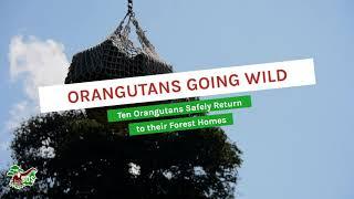BOSF 2021 Orangutan Releases: Orangutans Going Wild