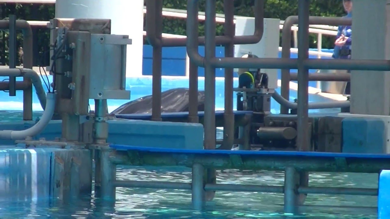 tilikum trua snacks in e pool aug 17 2015 seaworld
