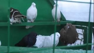 Разные птицы на Курской ярмарке. Видео