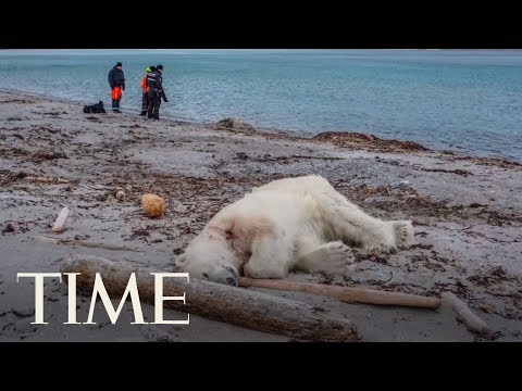 Polar Bear Shot And Killed After Attacking A Cruise Ship Guard | TIME